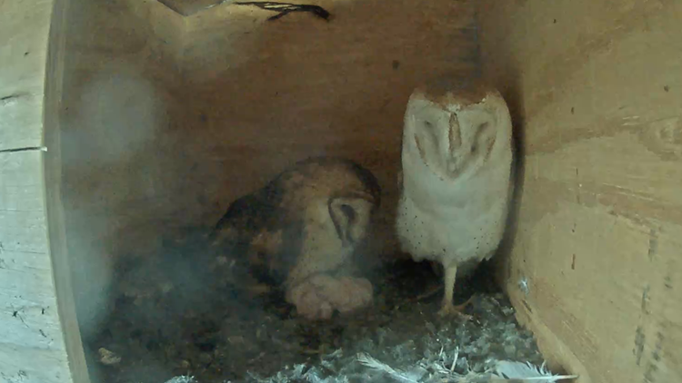 Live stream: Barn owls in Ramona caring for newly hatched ...