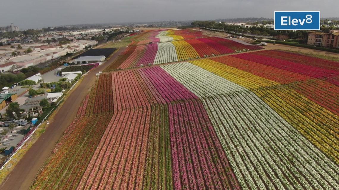 Drone Carlsbad Flower Fields