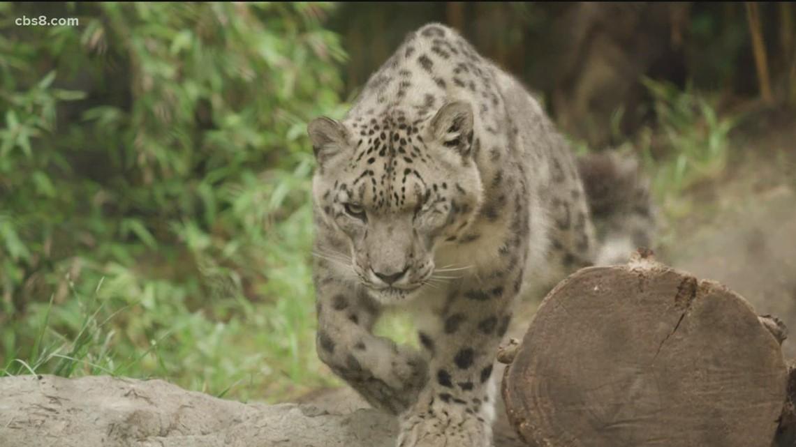 SD Zoo snow leopard test