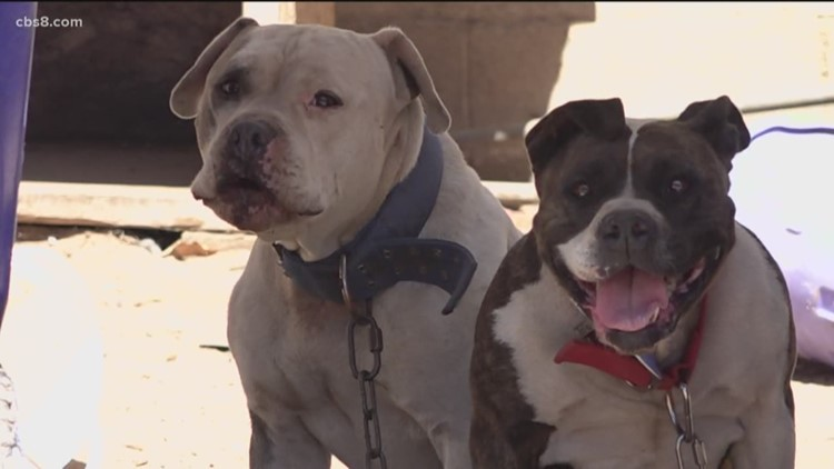 Pit bulls believe abandoned on the road to recovery
