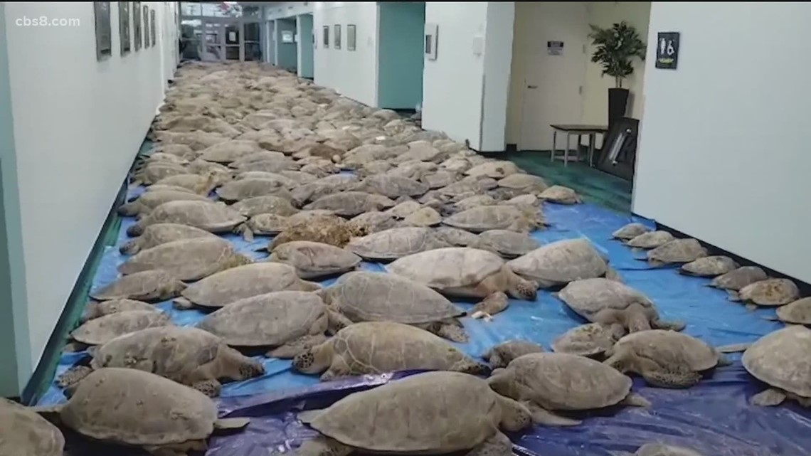 Frozen sea turtles rescued from arctic blast