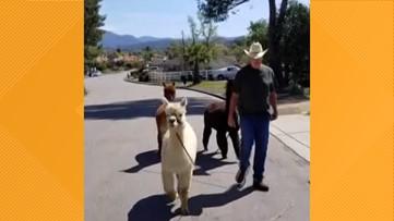 Alpaca walks in Alpine to keep busy during coronavirus quarantine