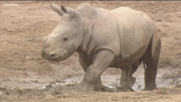 Rhino calf settling into new surroundings at San Diego Zoo Safari Park