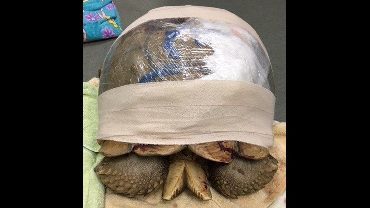 cracked tortoise wrapped