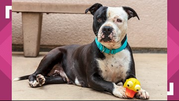 Becky is a mellow pittie who loves walks and playing with her ball