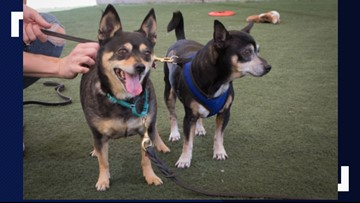 Cuddly, lovable lap dogs looking for perfect home