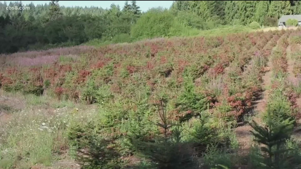 Summer heat may affect quality of trees come Christmastime
