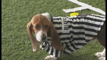Puppy Bowl kicks off Super Bowl weekend | cbs8 com