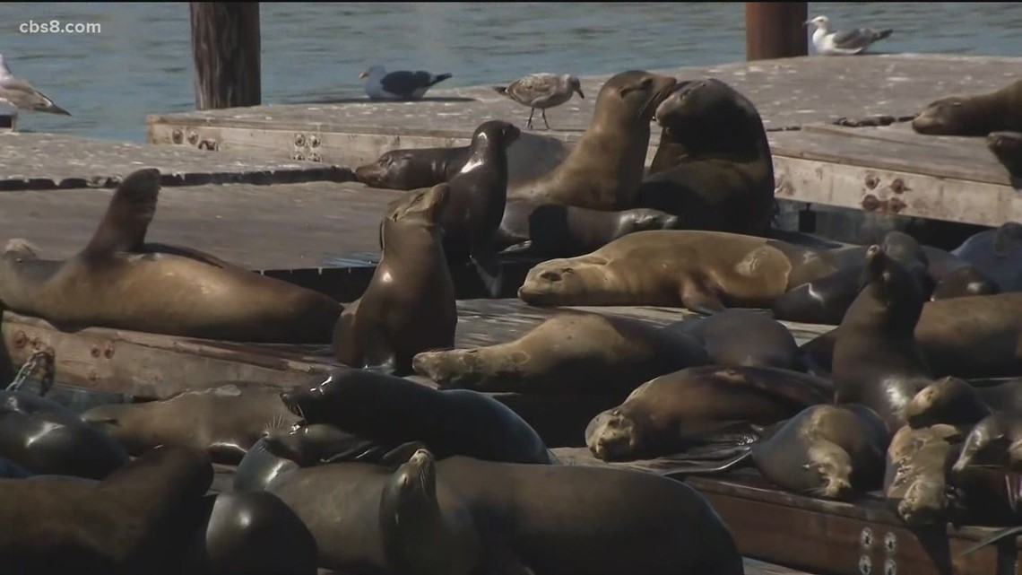 How cancer is affecting the sea lion population