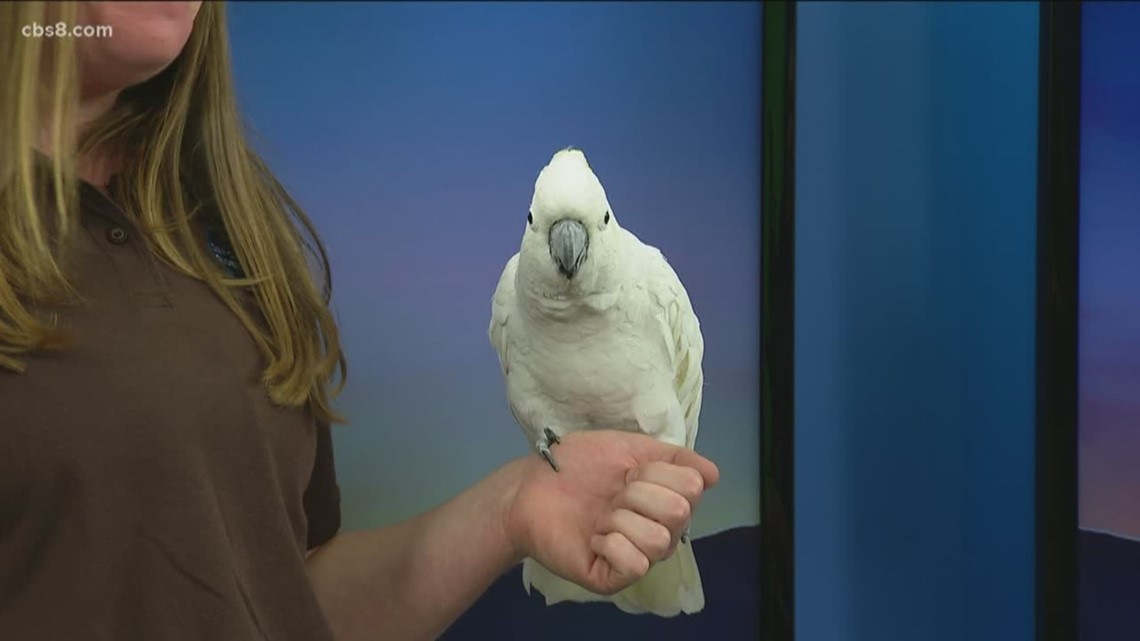 Meet a cockatoo from the San Diego Zoo