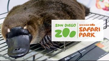 San Diego Zoo Safari Park receives 2 platypuses from Australia