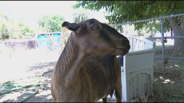Goats attacked and killed in Lakeside