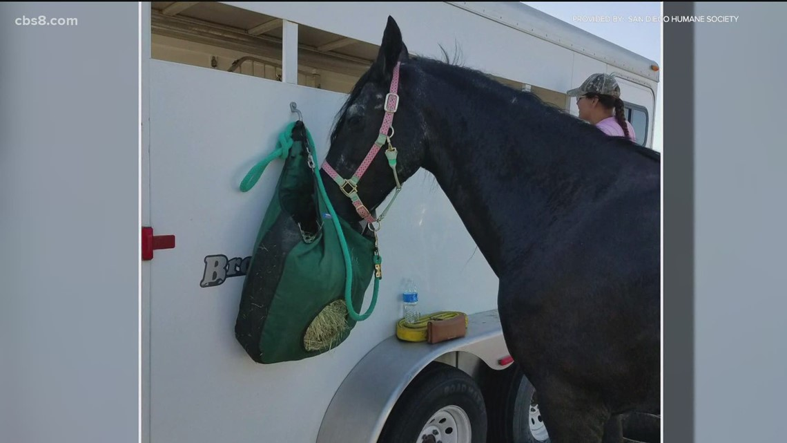 Horse recovering after rescue by San Diego Humane Society