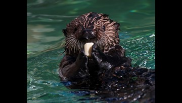 SeaWorld's helpless sea otter pup growing into Little Miss Independent