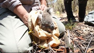 San Diego Zoo Global researchers will travel to Australia to help save koalas