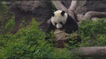 San Diego Zoo extends giant panda farewell for Bai Yun until April 29