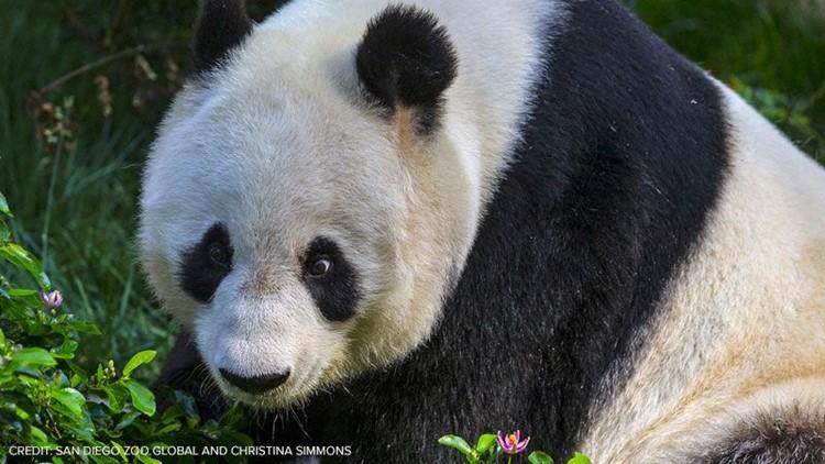 Bai Yun in habitat
