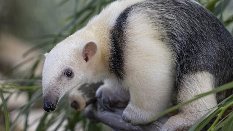 Newborn at San Diego Zoo Safari Park named after Padres superstar, Fernando Tatis, Jr.