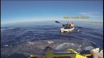 Thousands Of Leopard Sharks Head To The San Diego Coast
