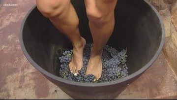 Drink wine while stomping grapes at the Ramona Grape Stomp