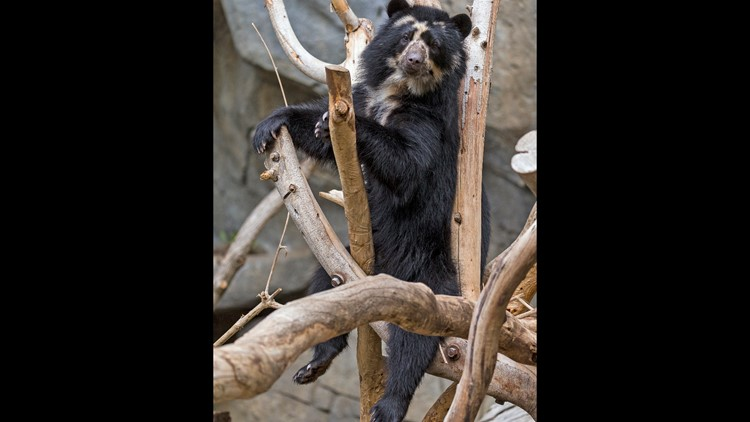 Female Andean Bear, Alba, at San Diego Zoo