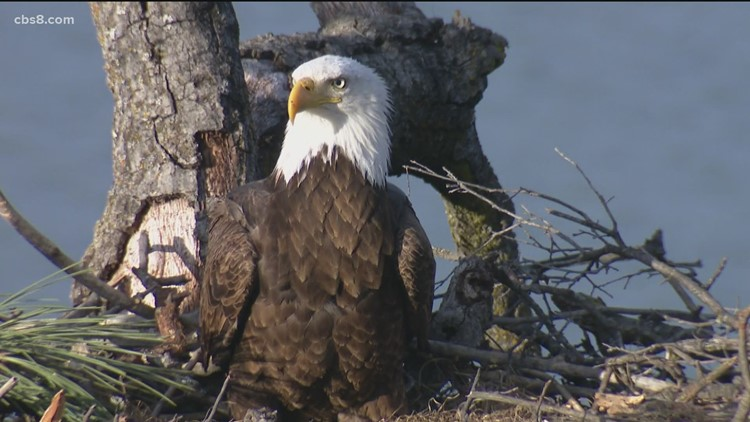 Bald Eagles spotted near Lake Morena in east San Diego