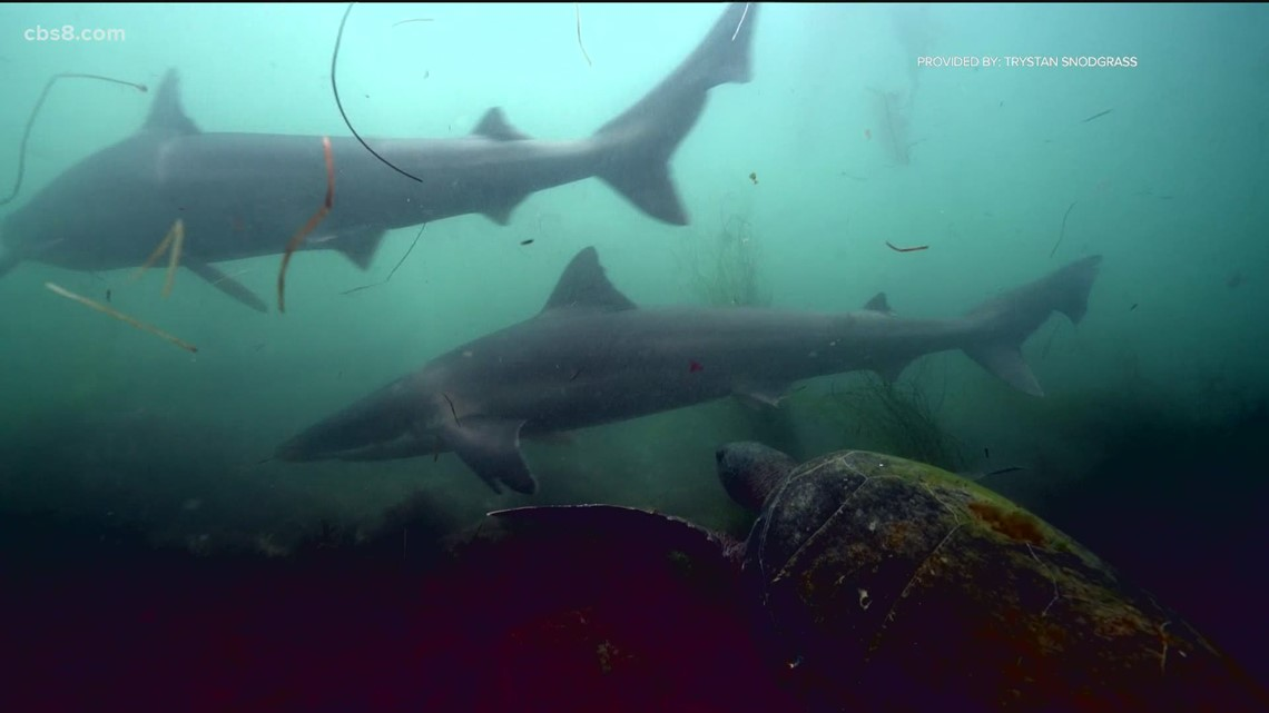 Soupfin sharks return to the CA coast every 3 years, new study reveals why