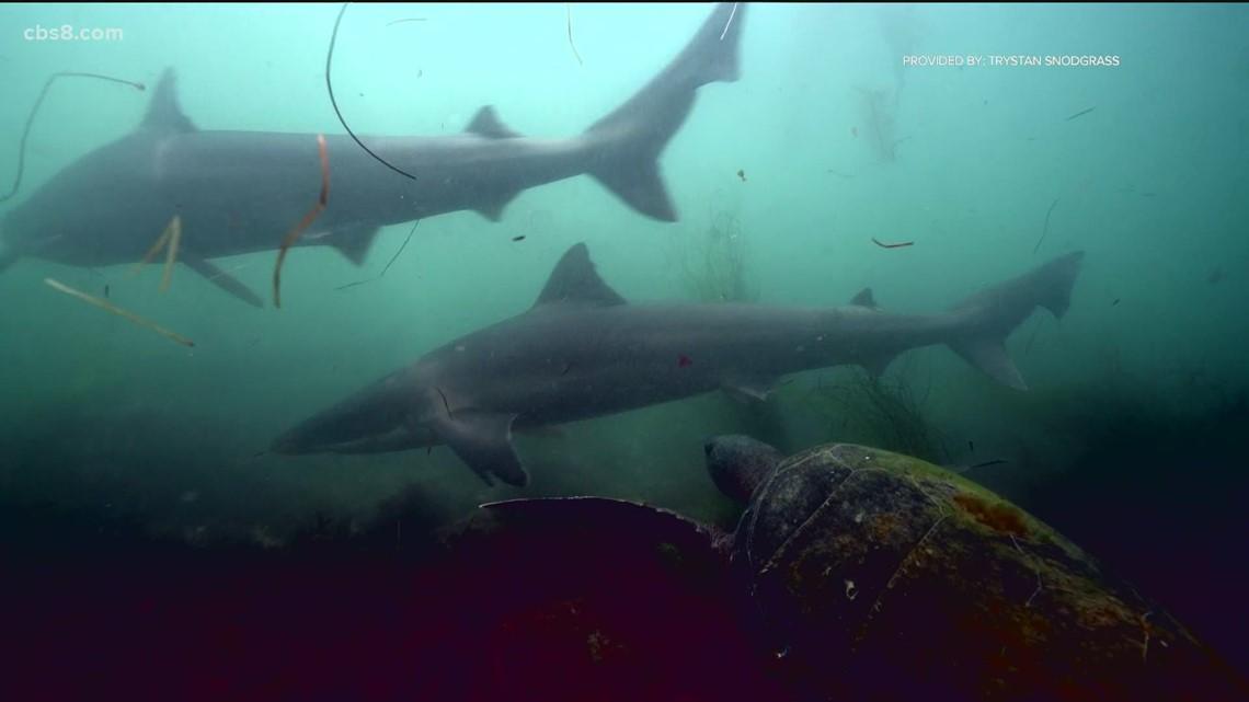 Soupfin sharks study reveals why they return to San Diego coast every 3 years