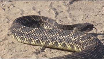 VERIFY: Are rattlesnakes more active when it's hot?