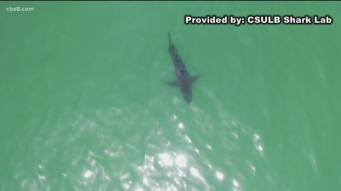 Researchers increasing efforts to study sharks at San Diego beaches after rise in sightings