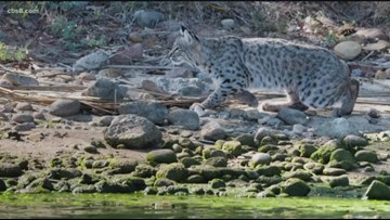 Controversy surrounds mysterious 'bobcat' spotted at Lake Murray