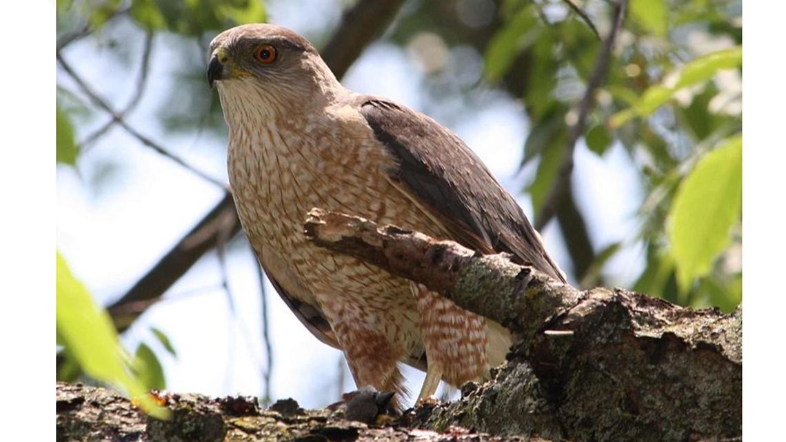 Hawk in Ramona tests positive for West Nile Virus