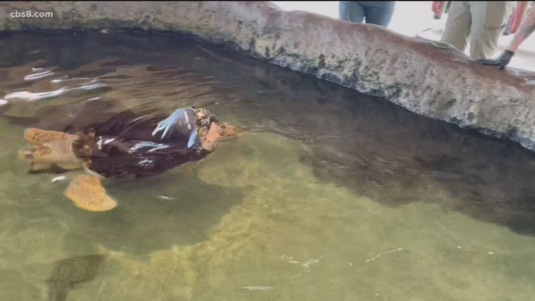 Local turtle receiving unique 'wetsuit therapy'