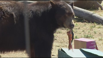 Meatball the bear celebrates 7th birthday in East County San Diego