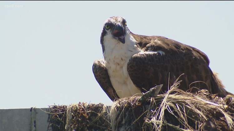 Osprey cam goes live at the Scripps pier, giving viewers hope