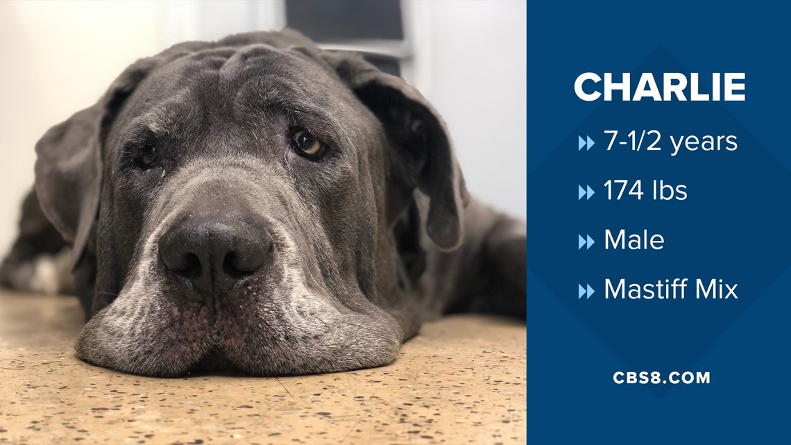 Meet Charlie, the San Diego County adoptable dog that's been at the shelter the longest