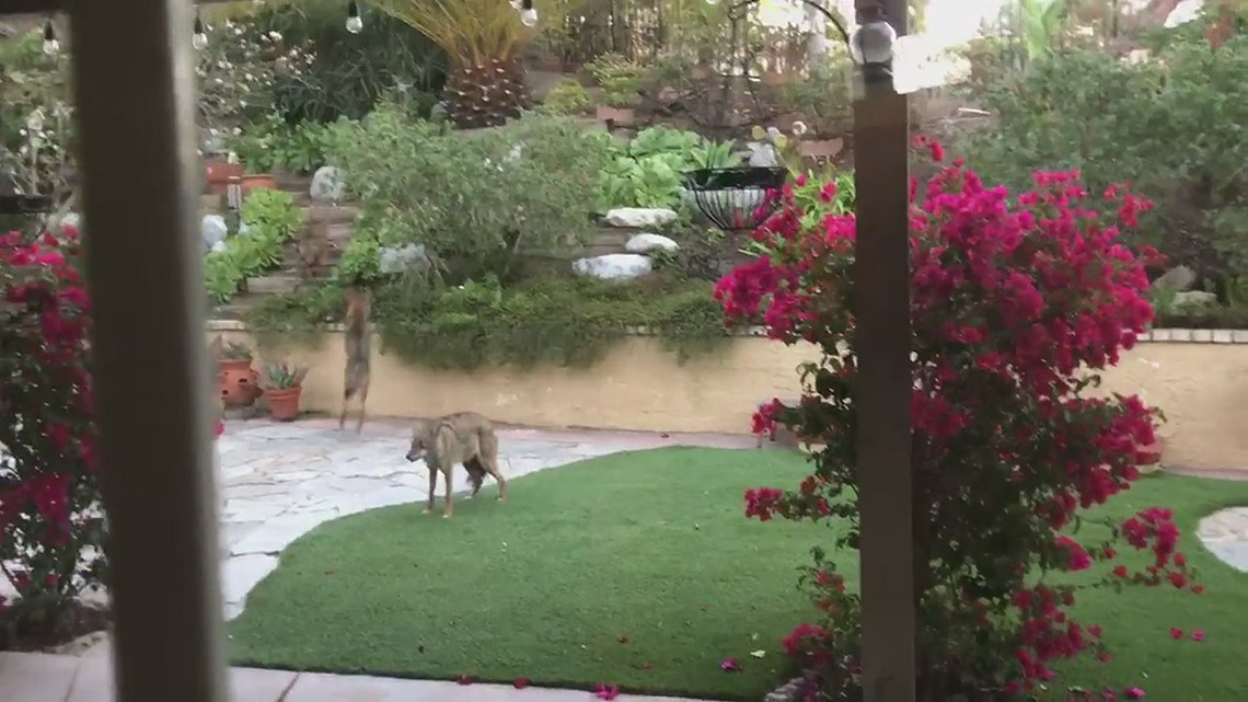 Cayotes in our backyard