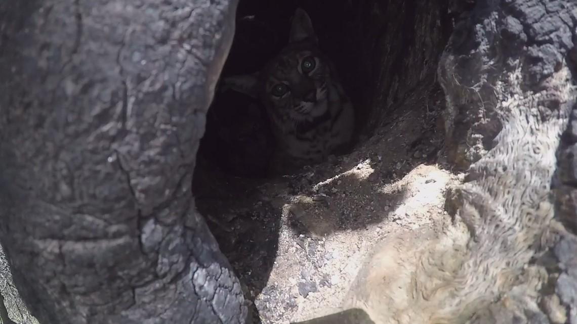 Bobcat kittens found in an oak tree cavity in the Santa Monica Mountains