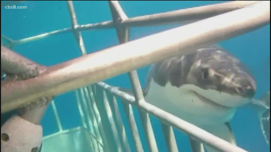 Fascination with great white sharks leads to cage dive for drone hobbyist