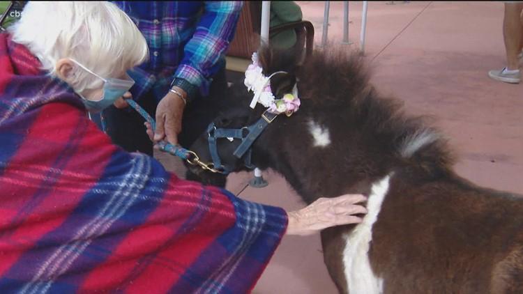 Mini horse pet therapy session help seniors at St. Paul senior living center