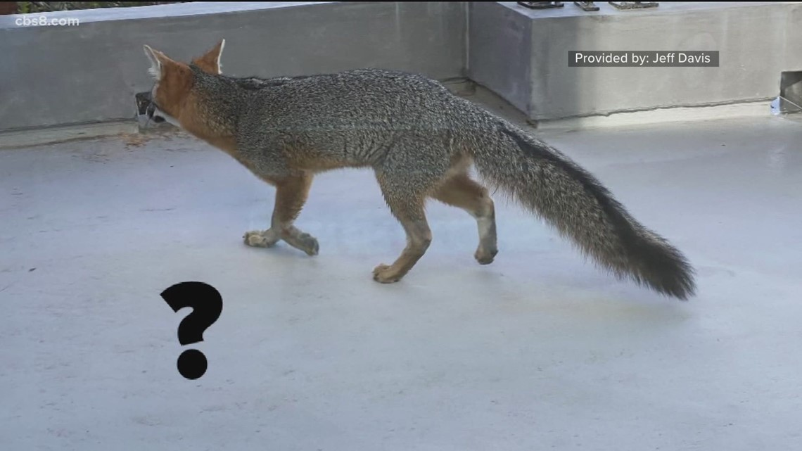 Local fox sightings are not a surprise