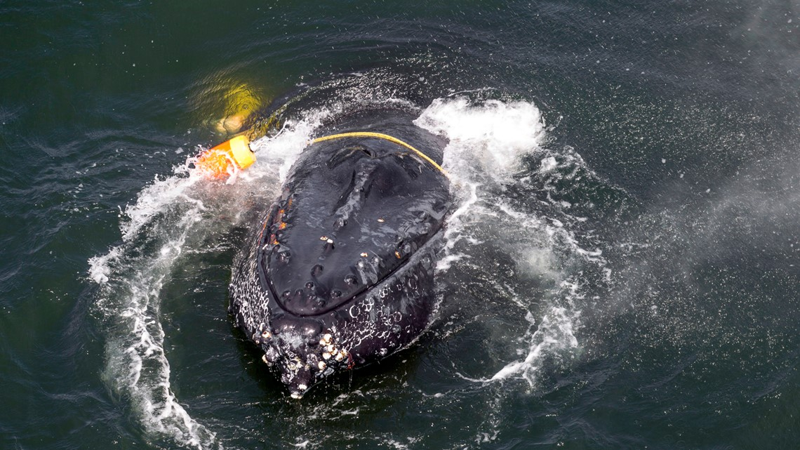 Whale entanglements along West Coast drop by nearly half