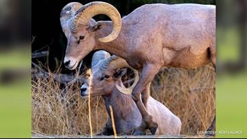 Bighorn sheep spotted near Anza Borrego State Park