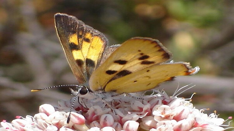 Butterfly Native to San Diego County Proposed for Endangered Species List