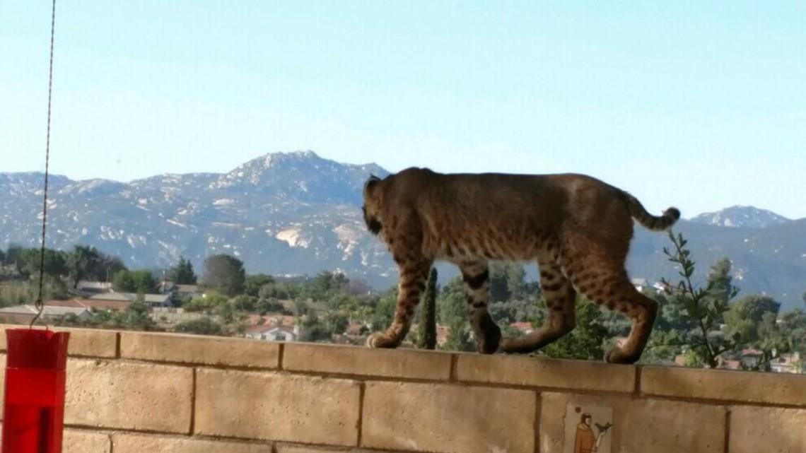 Woman Spots Bobcat Walking Along Her Fence In Alpine