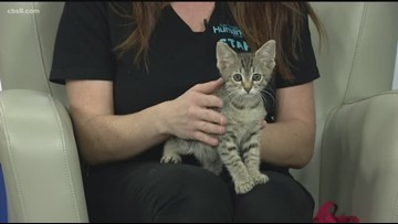 It is kitten season at the San Diego Humane Society
