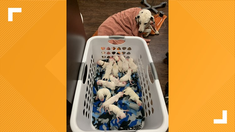 'There were puppies everywhere' | Dalmatian gives birth to 16 puppies in Texas