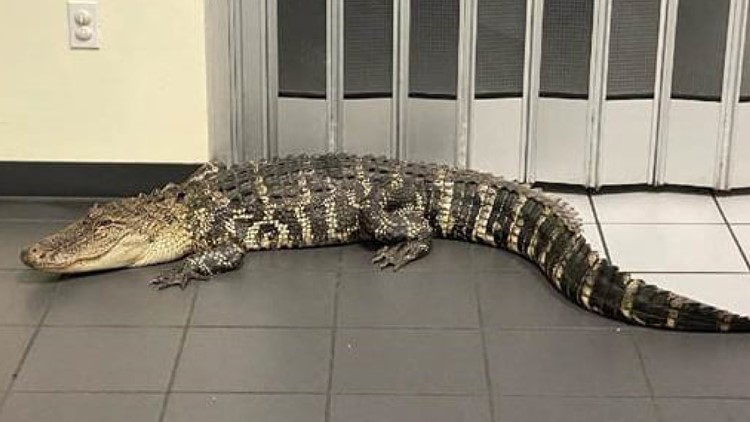 Florida man trying to mail package finds 7-foot alligator in post office lobby