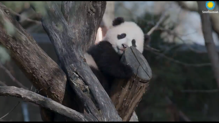 Panda Update | Adorable video from National Zoo shows how fast the baby giant panda is growing up
